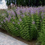13 Veronicastrum virginicum «Fascination»